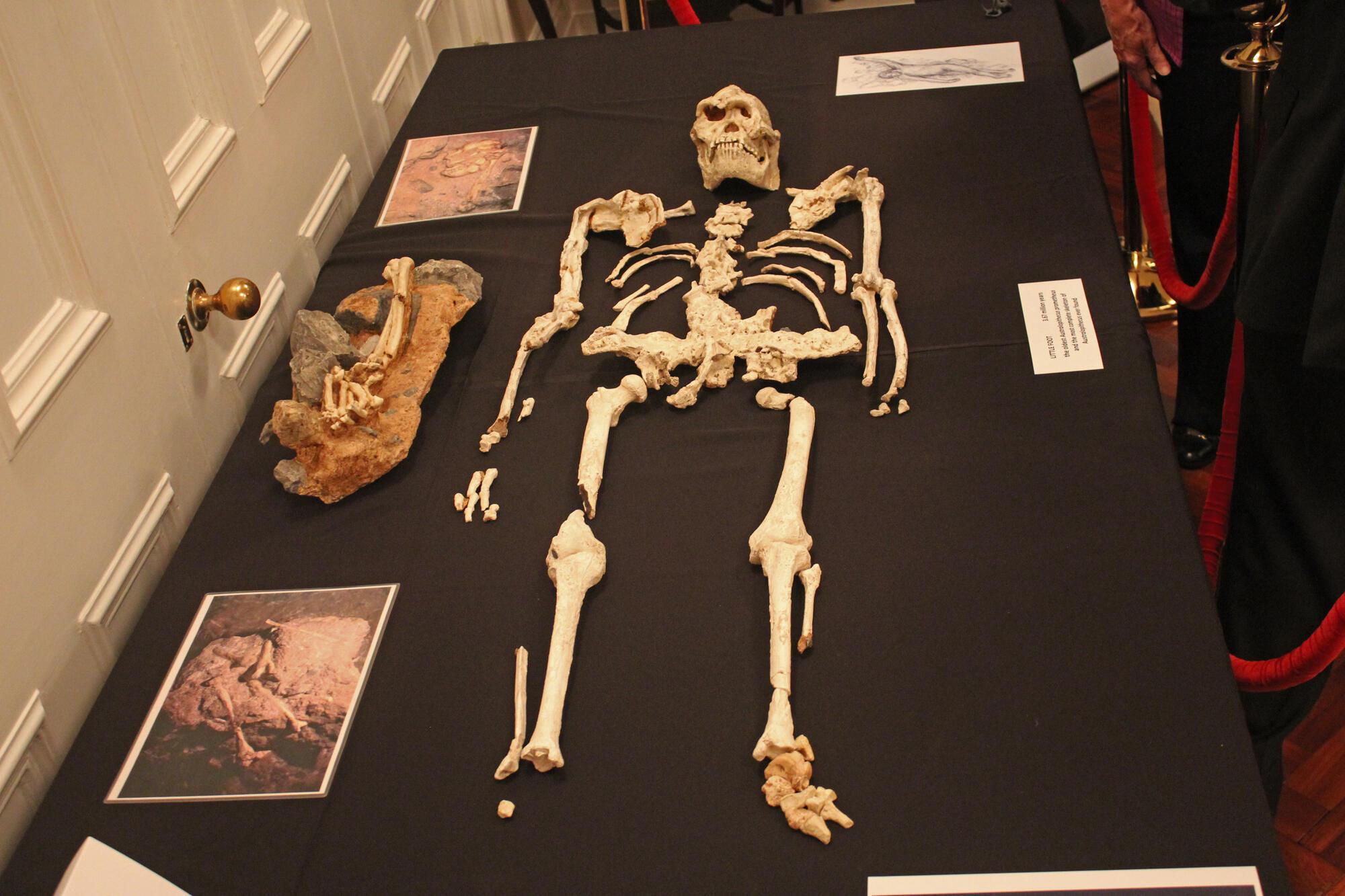 Little Foot était une femme, âgée d'une 30aine d'années, et mesurant un peu plus d'1m30. Elle est morte lors d'une chute dans la grotte.