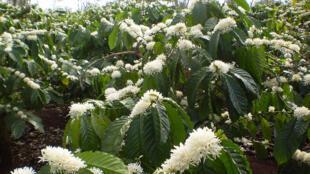 Fleur du café robusta à Dak Lak au Vietnam.