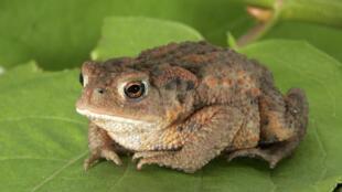 Для размножения жабам нужно спокойствие хотя бы пару раз в год.