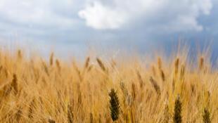 Le blé est un produit de première nécessité d'une importance géopolitique.