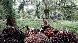 Palm oil harvest in Kuwala, in the north of the Indonesian island of Sumatra