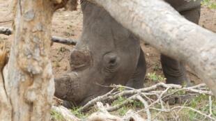 Un rhinocéros vivant dans le parc national Kruger, en Afrique du Sud.
