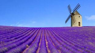 Cối xay gió lạc chân giữa cánh đồng lavande miền Provence (DR)