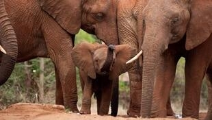 As principais razões da diminuição da população de elefantes são a destruição de seu habitat natural e a utilização de partes de seu corpo na medicina tradicional chinesa.