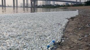 中國天津濱海區海河出現大量死魚2015年8月20日