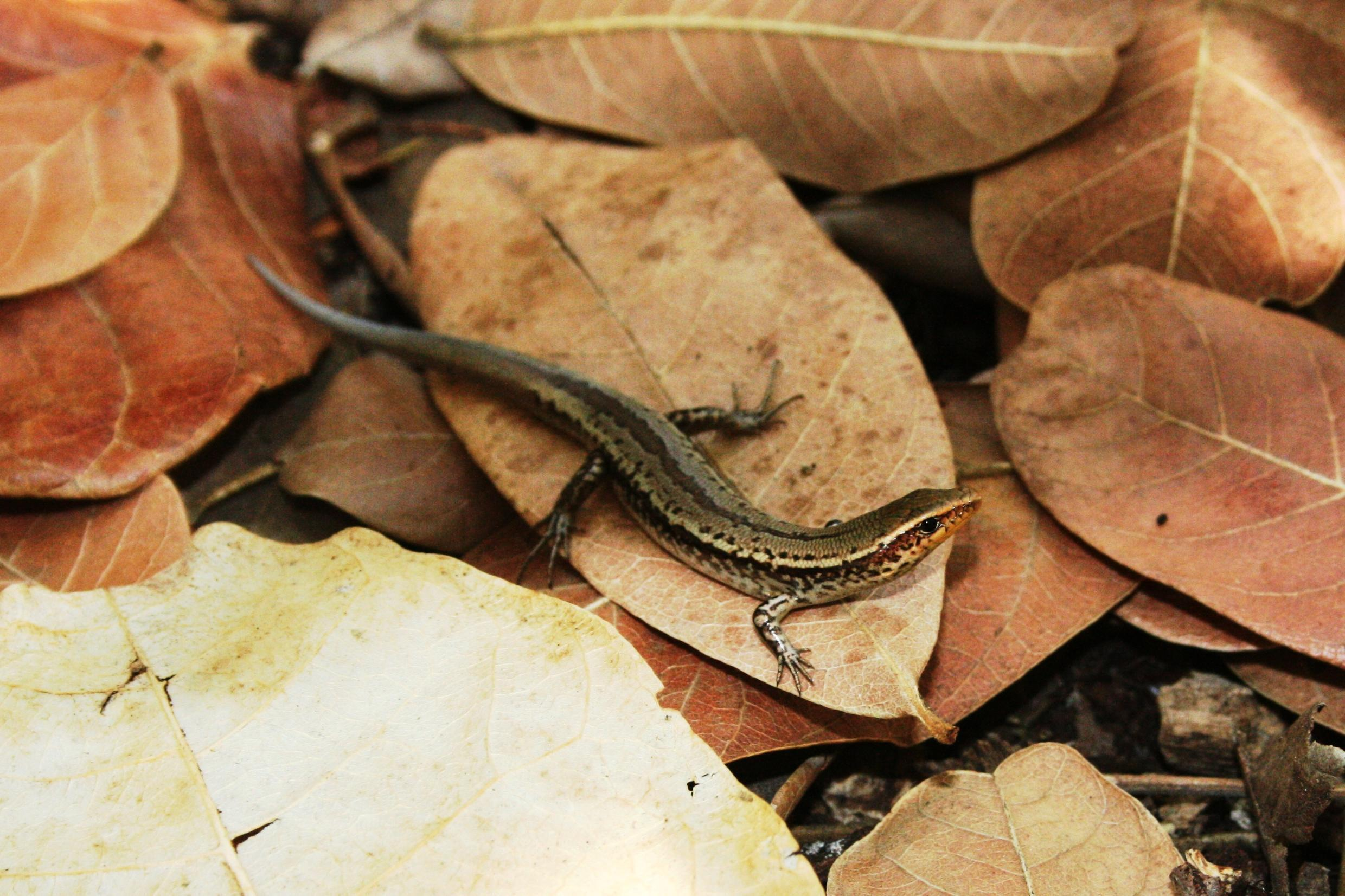 The critically endangered Bojer's skink is unique to Mauritius. Some species were transported to the mainland because of the oil spill.