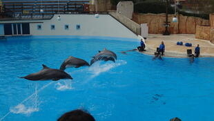 The eight dolphins from the Parc Astérix will join other dolphinariums in Europe over the next two months.