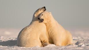 El oso polar, una especie amenazada.