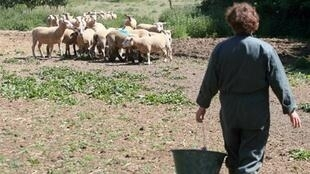 A farmer feeds sheep on a parched field last May