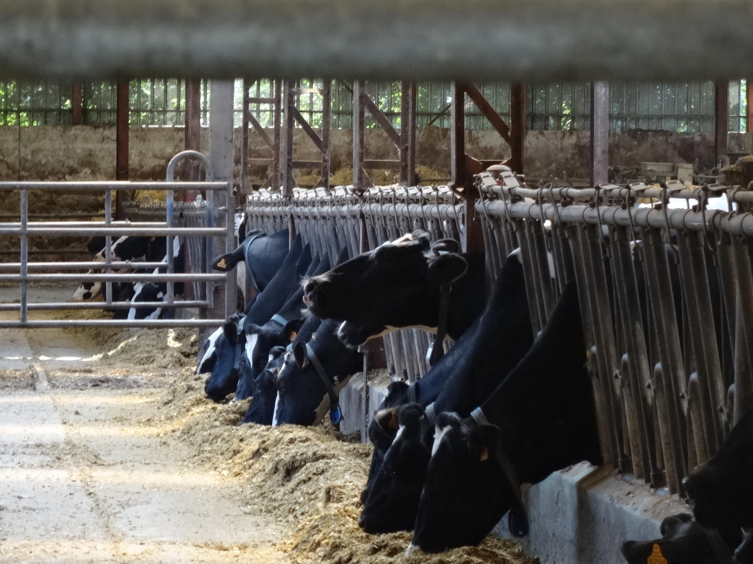 Cows at a dairy near the village of Drucat, down the road from the 1,000-cow farm