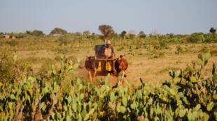 Petits producteurs des grandes plaines de l'Androy, région du sud régulièrement en proie à l'insécurité alimentaire.