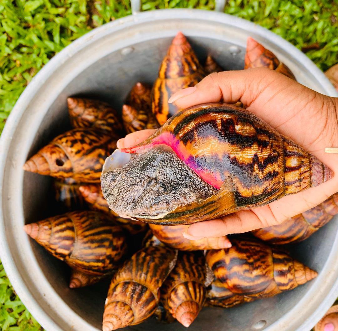 L'escargot géant Achatina que l'on trouve en Côte d'Ivoire.