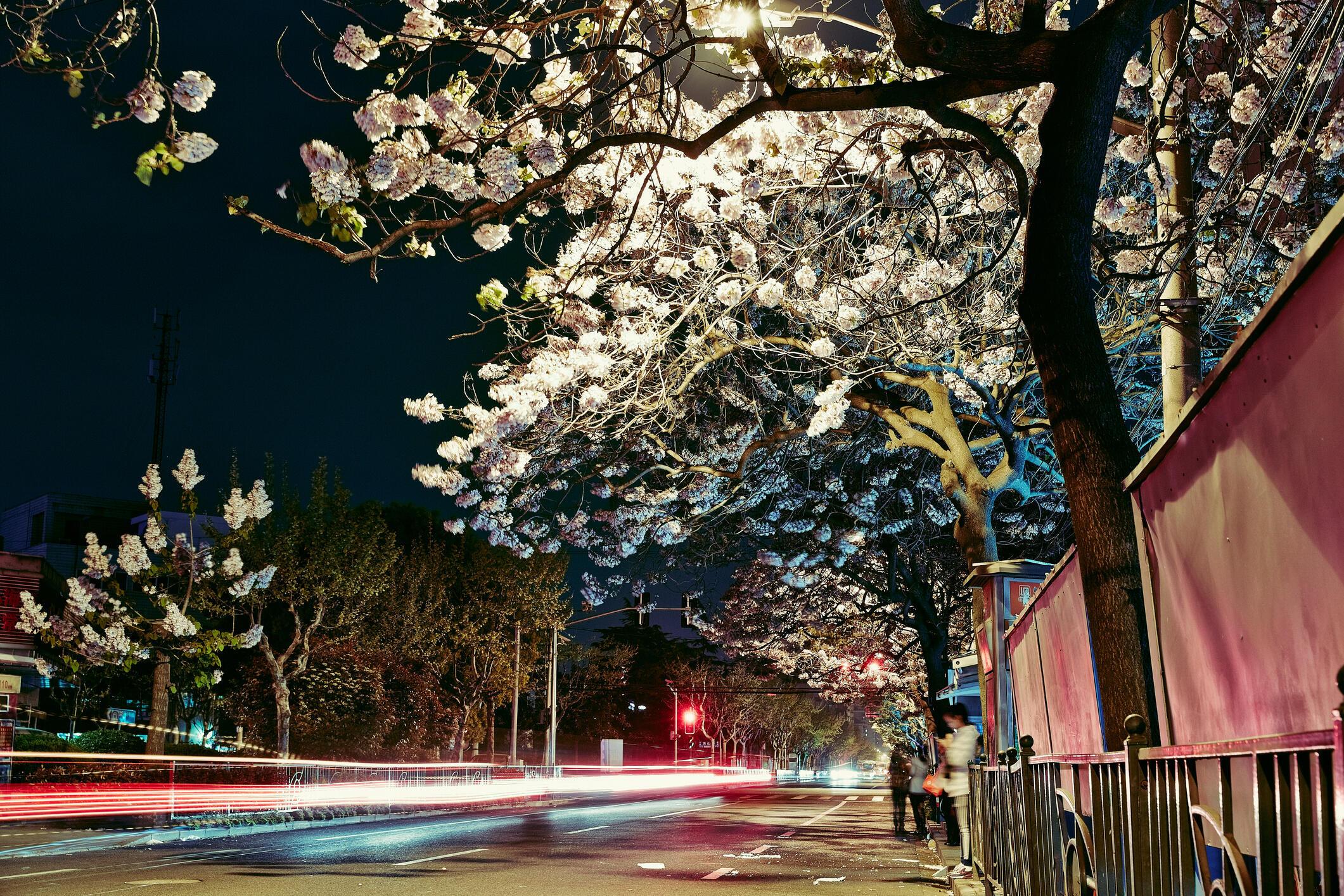Le Paulownia est une importante espèce d'arbre à croissance rapide, largement répandue et appréciée par les populations.