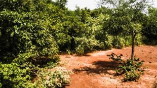Une véritable forêt a pu être créée par Yacouba Sawadogo.