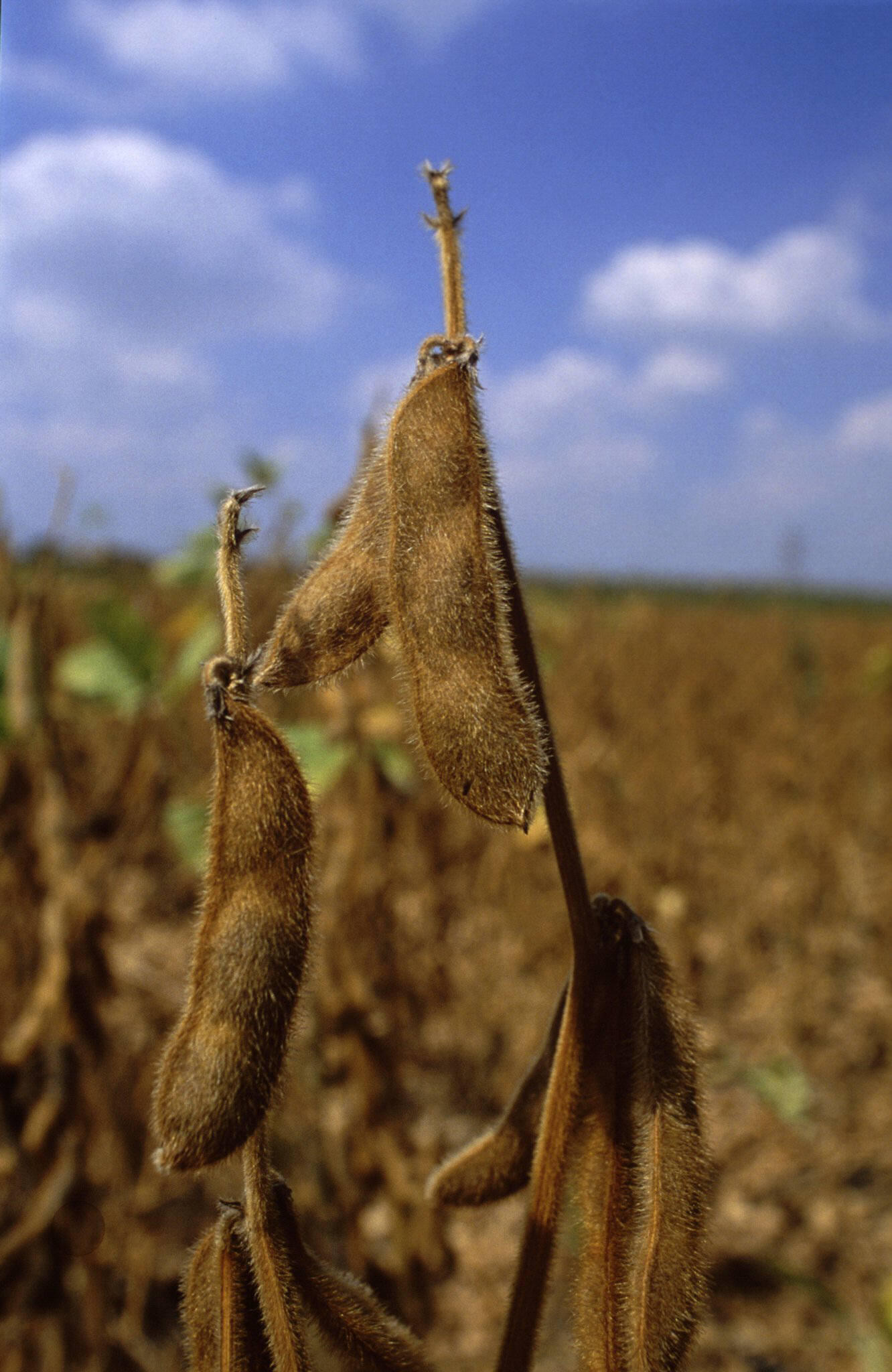 Le Burkina Faso produit actuellement moins de 20 000 tonnes de soja par an. Le pays veut atteindre 100 000 tonnes en 2020. Notre photo: gousses de soja.