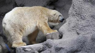 Arturo, le seul ours polaire en Argentine, vit en captivité dans un zoo de Mendoza, à 1 050 km à l'ouest de Buenos Aires, le 5 Février 2014.