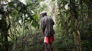 Un planteur de vanille inspecte son champ dans la région de Sambava à Madagascar (image d'illustration).