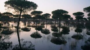 Los pinares de pino piñonero (Pinus pinea) representan la formación boscosa más extensa de Doñana.