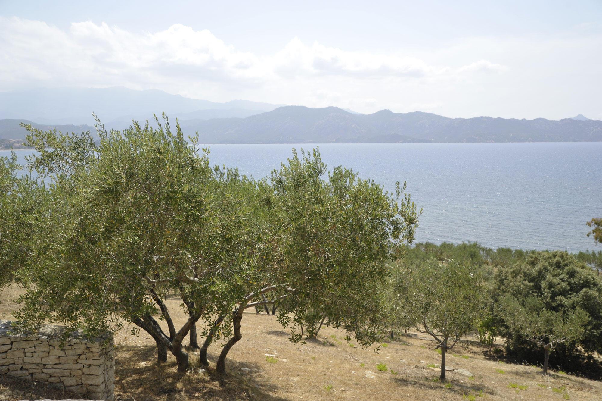 Des oliviers en Corse.