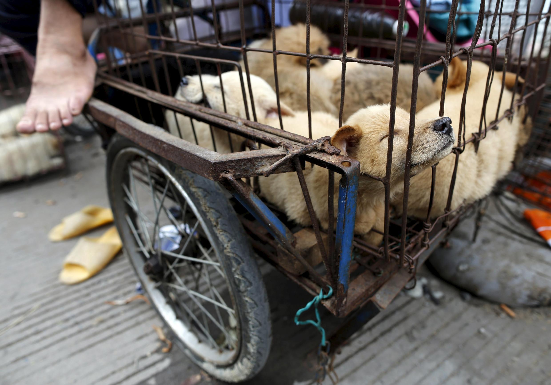 Chợ bán chó nhân lễ hội thịt chó hàng năm ở Ngọc Lâm ( Yulin), Quảng Tây, Trung Quốc, ngày  22/06/2015.