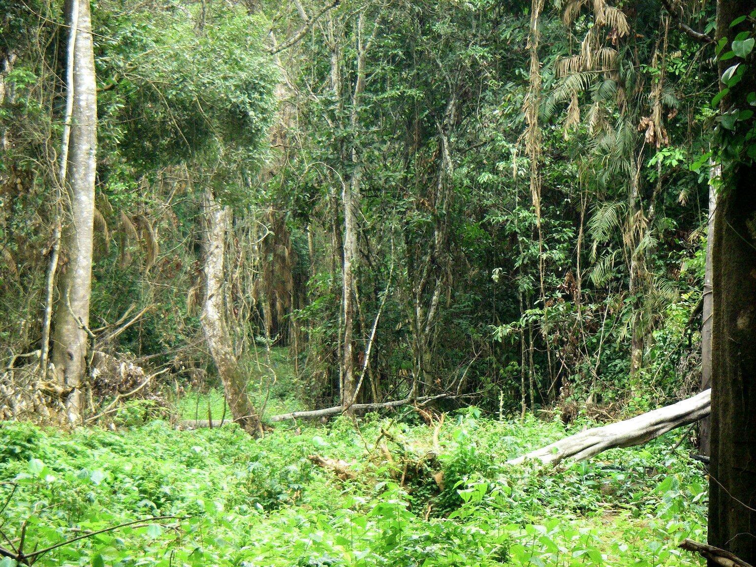 Forêt dense en Centrafrique.