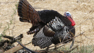 Turkey bird animal