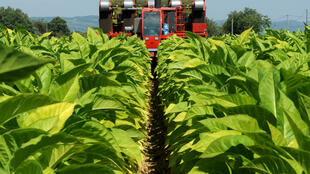 Récolte des feuilles de tabac dans une parcelle de tabac Virginie, à La Côte-Saint-André, en région Rhône-Alpes, le 23 août 2011.