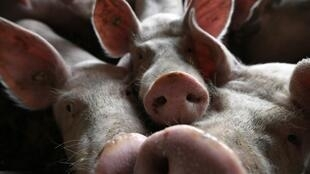 Un élevage de porcs en Allemagne (image d'illustration).