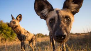 2020-07-19 zimbabwe nature wildlife painted dogs mana pools