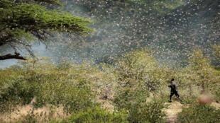 Wani manomi yayin kokarin korar farin dango daga gonarsa a garin Jijiga dake lardin Somali a kasar Habasha.
