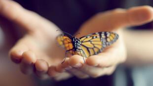 La solution imaginée par les chercheurs a été de fixer des électrodes au papillon directement dans son cocon avant qu'il se métamorphose.