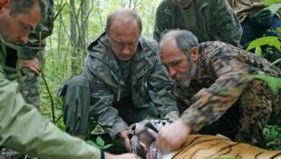 Ông Vladimir Putin đang giữ một con cọp Xibêri 5 tuổi để đeo vòng kiểm soát tại một vườn quốc gia ở Ussuri, Nga.