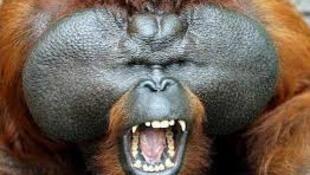 图为长臂大猩猩图片
