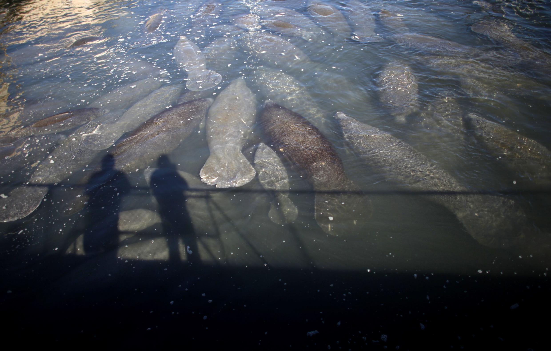聚集在一起的濒临灭绝的海牛