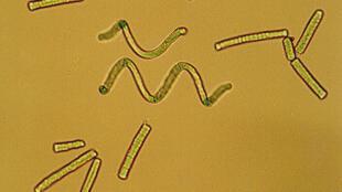 La spiruline est une algue microscopique riche en protéines et anti-oxydants