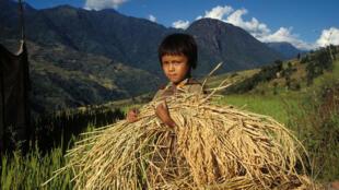 Niño trabajando en el cultivo del arroz.
