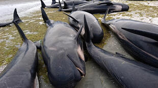 Plus de 400 baleines-pilotes se sont échouées vendredi sur une plage de Nouvelle-Zélande, la grande majorité d'entre elles succombant rapidement.