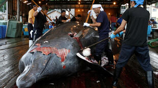 A Baird's Beaked whale being butchered at the port of Wada in Minamiboso, southeast of Tokyo