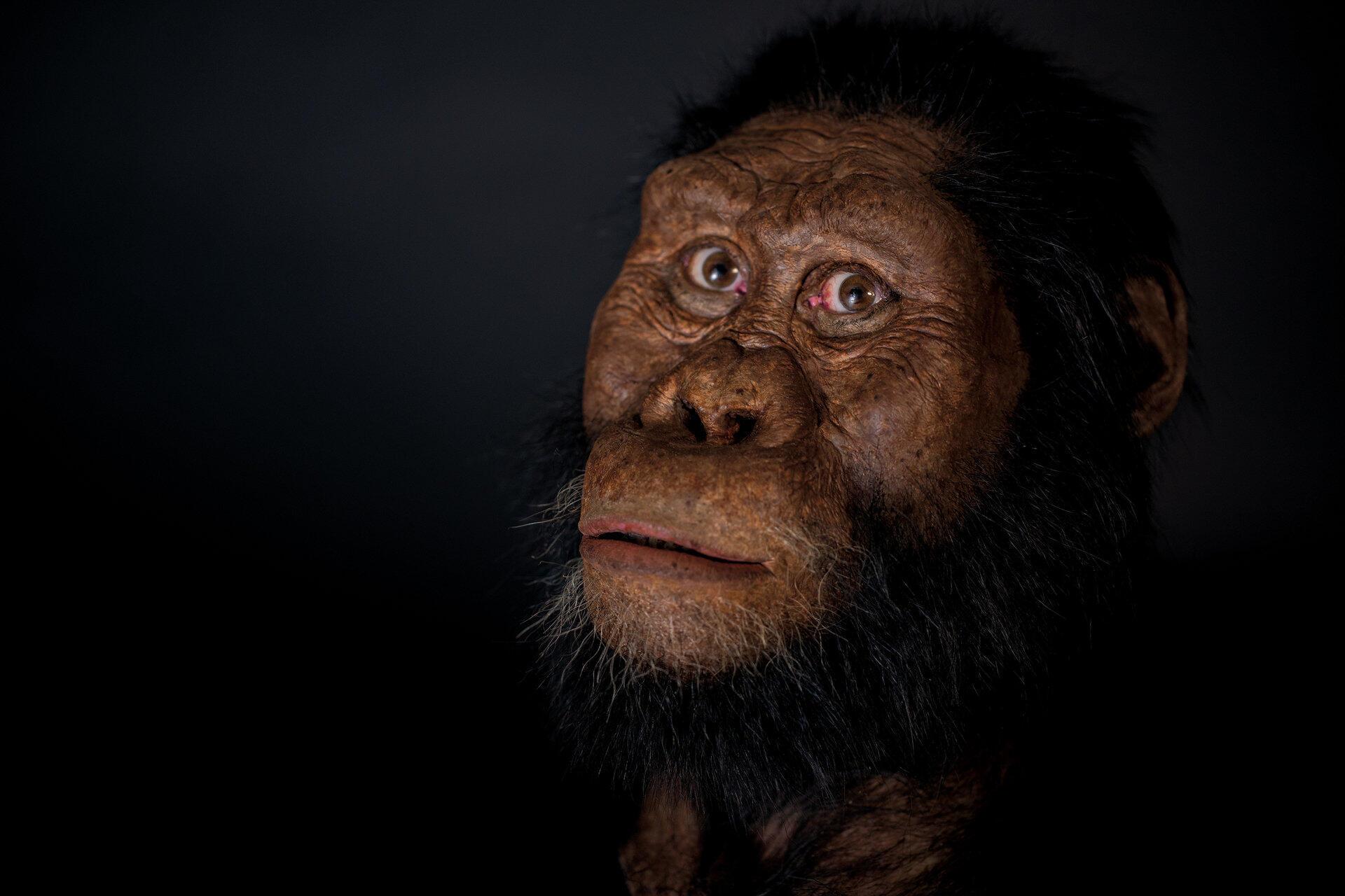 Reconstitution du visage d'un Australopithèque «anamensis» par le Muséum d'histoire naturelle de Cleveland, grâce à la découverte d'un crâne datant de 3,8 millions d'années en Éthiopie.
