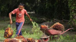 Un travailleur souleve des fruits de palme récoltés sur une brouette à Kisaran, dans le nord de Sumatra, en Indonésie.