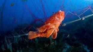 Une espèce de poisson-pierre prisonnié d'un filet abandonné dans les fonds marins de la côte italienne.