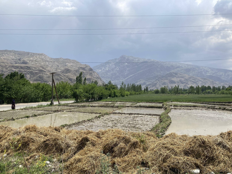 Рисовые поля на границе Таджикистана и Кыргызстана. май 2021 г.