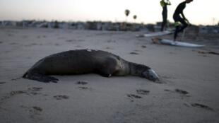 Un lion de mer mort, échoué sur une plage californienne, le 2 avril 2015.