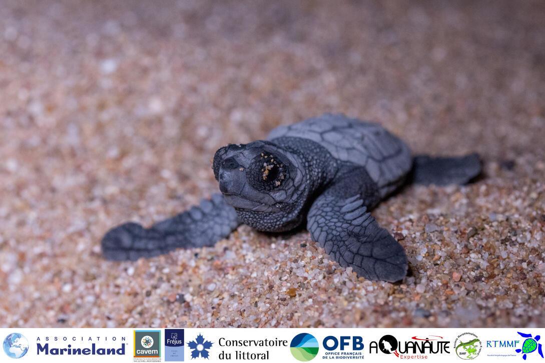 Quelques secondes après sa naissance sur la plage de Fréjus, un bébé tortue se dirige vers la mer.
