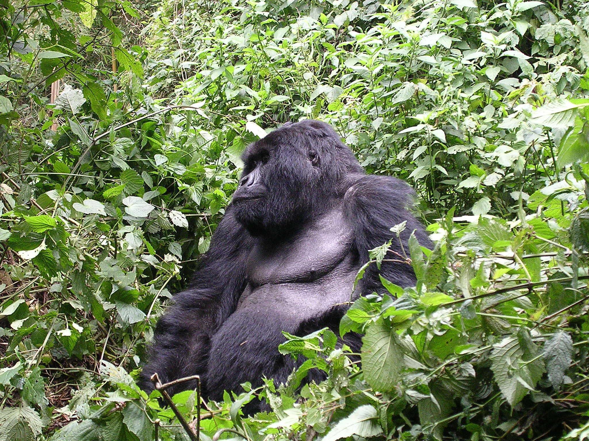Restam apenas 700 gorilas do oriente na natureza.