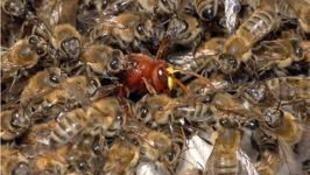 Zangão asiático em meio a abelhas francesas.