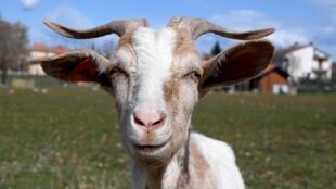 Una cabra en Veleniki, Croacia, el 17 de marzo de 2021
