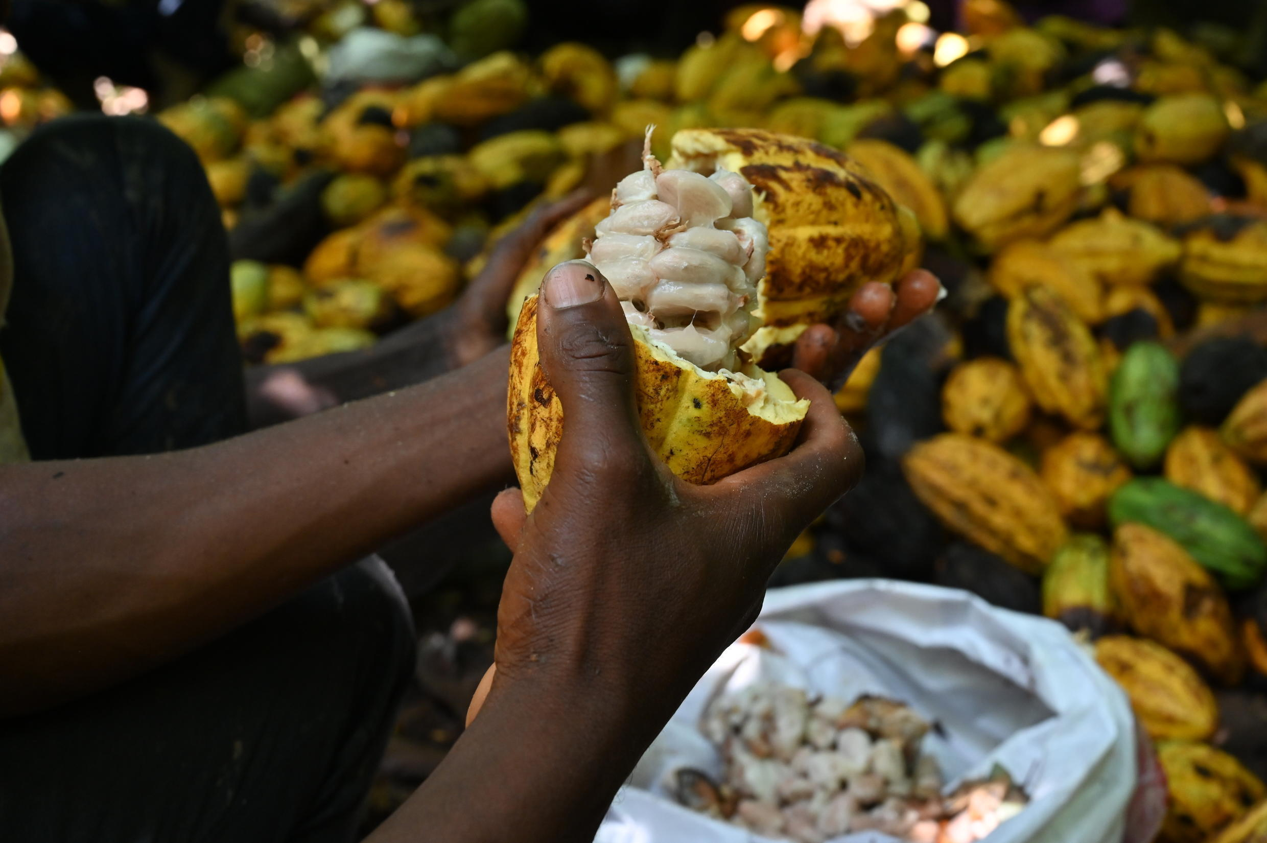 Ivory Coast is the biggest producer of cacao beans, the treasure that lies inside the pod of the Theobrama cacao tree