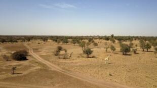 Une vue aérienne de girafes dans le parc de Kouré, à 60 km de Niamey, où a eu lieu l'attaque. (image d'illustration)