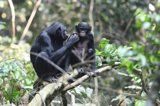 Las mamás bonobo desempeñan un papel determinante para asegurar que sus hijos tengan vidas sexuales fructíferas